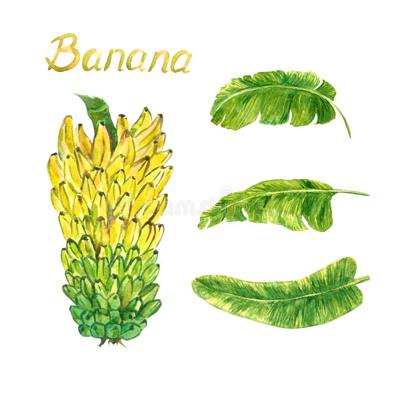 Yellow bananas tier bunch ad leaves. Hand painted watercolor illustration with inscription isolated on white background stock illustration