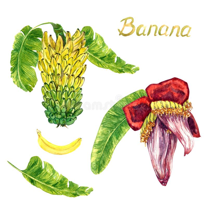 Yellow bananas tier bunch and flower banana heart, leaf and fruit. Hand painted watercolor illustration, hand painted watercolor illustration with inscription royalty free illustration