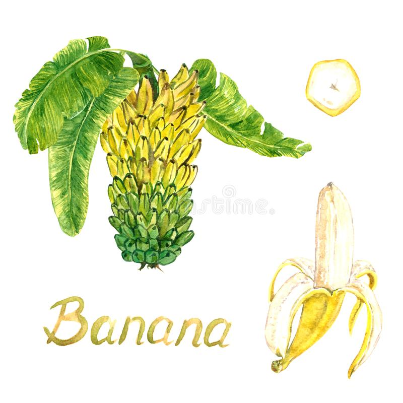 Yellow bananas tier bunch with leaves and peeled banana and cut slice. Hand painted watercolor illustration with inscription isolated on white background royalty free illustration