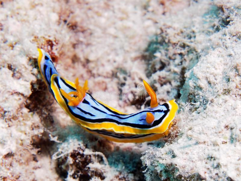 Yellow band Nudibranch royalty free stock images