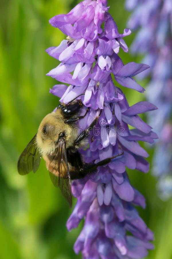 Download Yellow-banded Bumblebee stock image. Image of america - 104238251