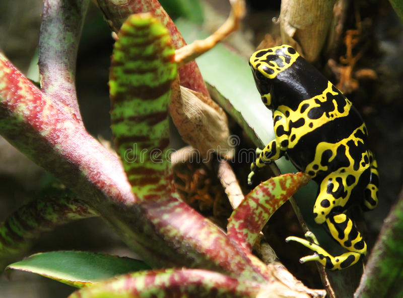 Yellow Banded Dart Frog. The yellow-banded poison dart frog, also known as yellow-headed poison dart frog or bumblebee poison frog, is a poisonous frog from the stock photo