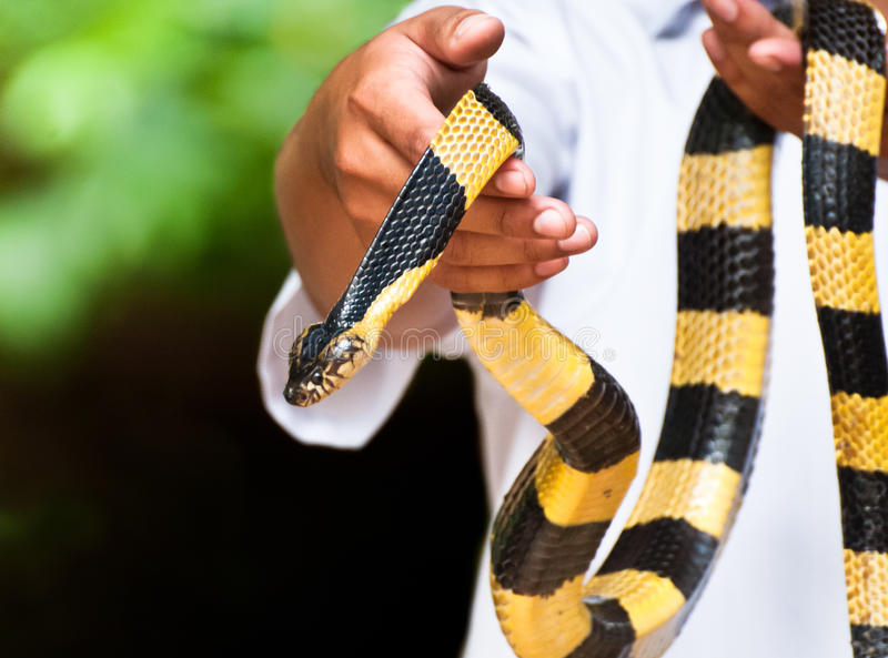 Yellow banded krait royalty free stock photography