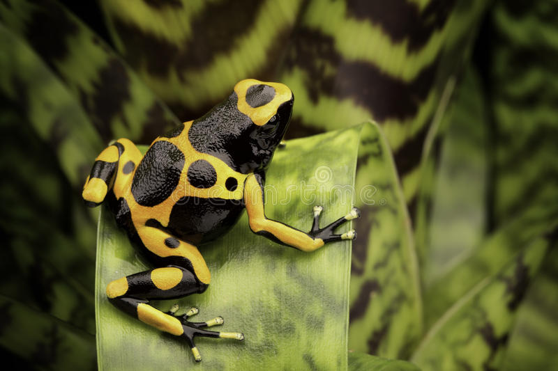 Yellow banded poison dart frog stock photography