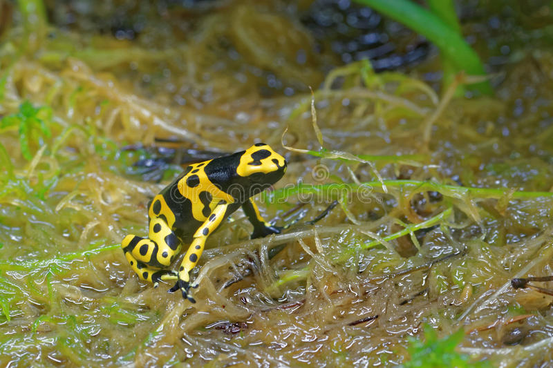 Yellow-banded poison dart frog. (Dendrobates leucomelas), also known as yellow-headed poison dart frog or bumblebee poison frog, is a poisonous frog from the royalty free stock photos