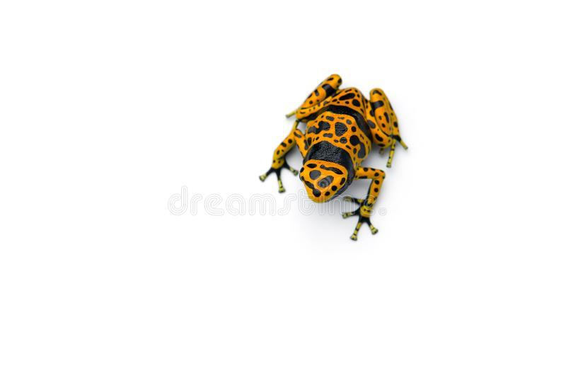 The yellow-banded poison dart frog isolated on white background stock image