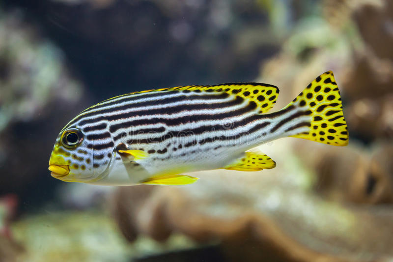 Yellow-banded sweetlips Plectorhinchus lineatus. Marine fish stock images