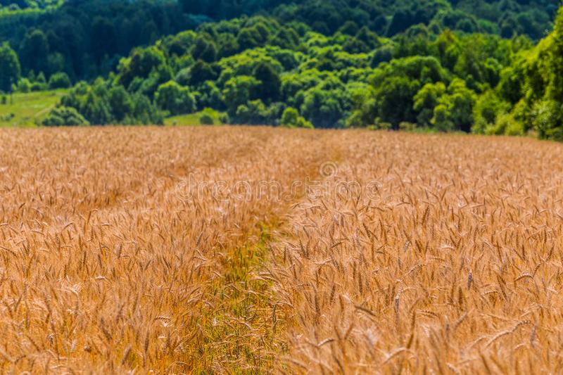 Yellow barley field at daytime under direct sunlight. Blurry green forest line in background stock photo