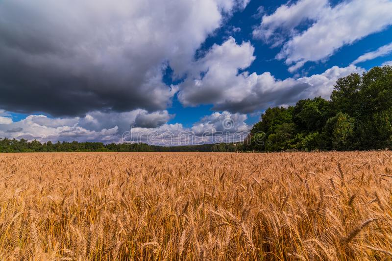 Yellow barley field at daytime under direct sunlight. Green forest and sky with storm clouds on the background royalty free stock photo