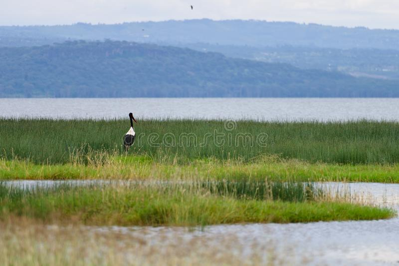 A yellow beak stork naer the wetland. The yellow beak stork stands on the grassland still. It is a big size bird of Africa. The scene of the wetland with green stock photography