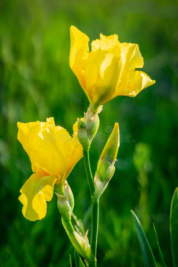 Yellow bearded iris stock image