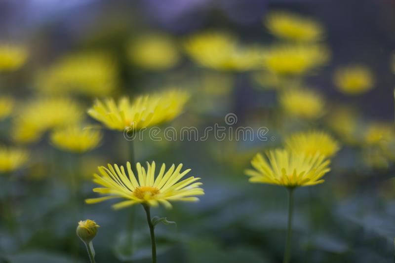 Yellow beauties of Scotland in spring stock image