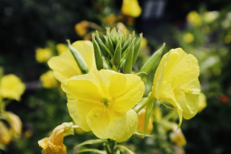 Yellow beautiful flower close up green background royalty free stock photo