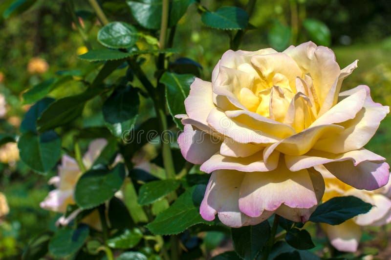 Yellow beautiful rose stock photos