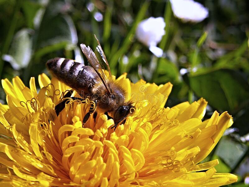 Yellow Bee on a Yellow Flower during Daytime royalty free stock image