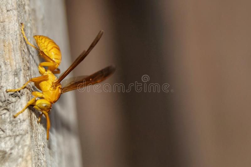 Yellow bee royalty free stock photo