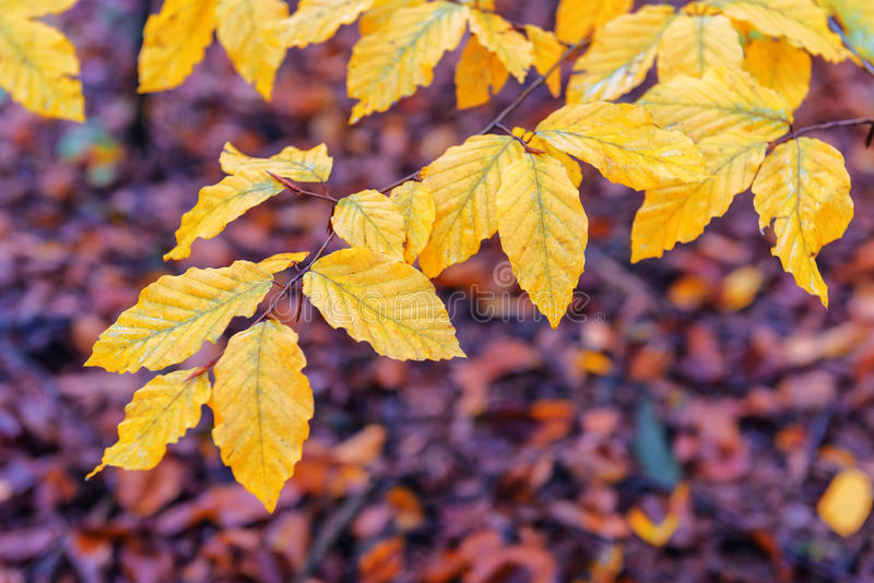 Yellow beech leaves. In autumn forest royalty free stock photos