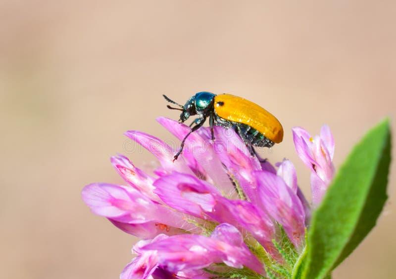 Yellow beetle stock photos