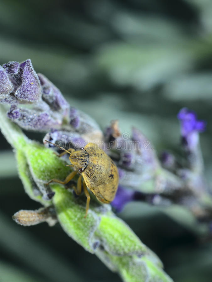 Yellow beetle on lavender stock image