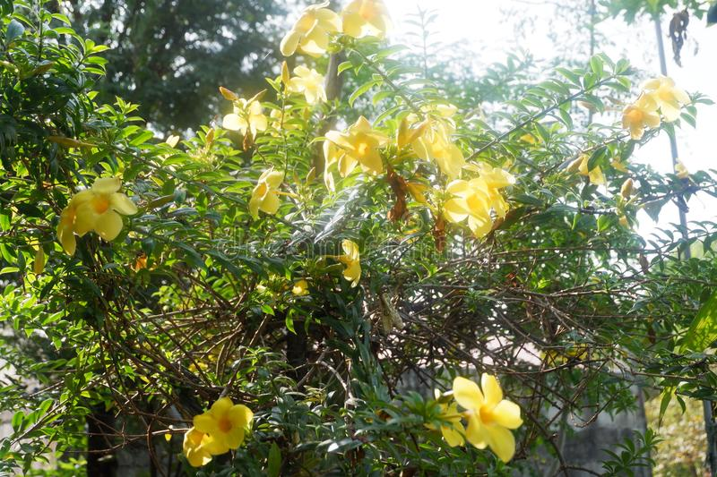 Yellow Bell Flowers royalty free stock photos