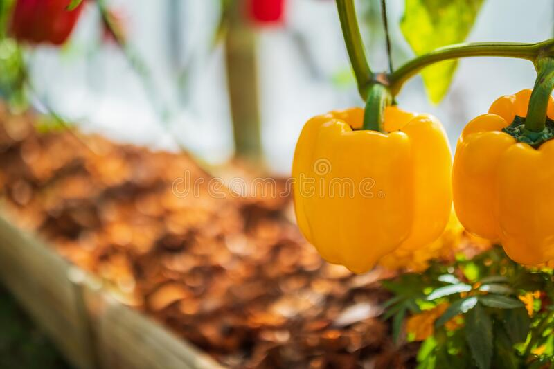 Yellow bell pepper plant growing in garden stock photo