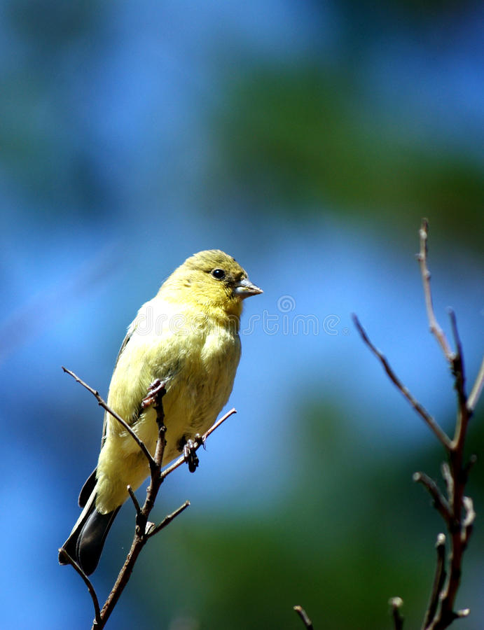 A yellow-bellied Bird resting on a tree branch royalty free stock image