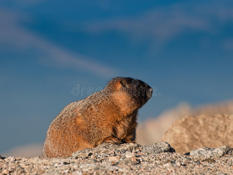 Download Yellow-bellied Marmot stock image. Image of rock, attention - 21257375