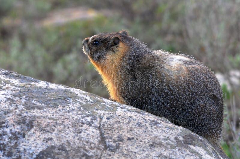 Yellow Bellied Marmot Stock Image