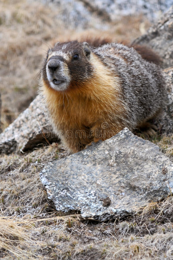 Yellow-bellied Marmot Royalty Free Stock Photography
