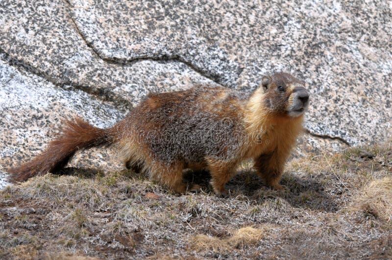 Download Yellow-bellied marmot stock photo. Image of yellow, yosemite - 26538608