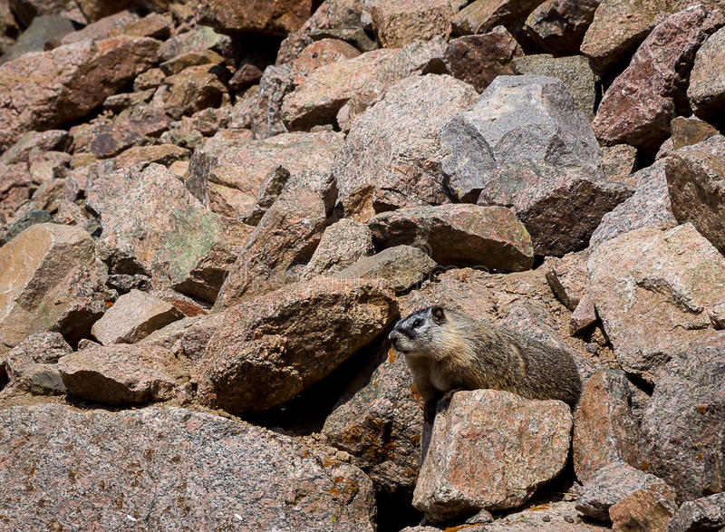 Download Yellow-bellied Marmot stock photo. Image of yellow, rodents - 43155784