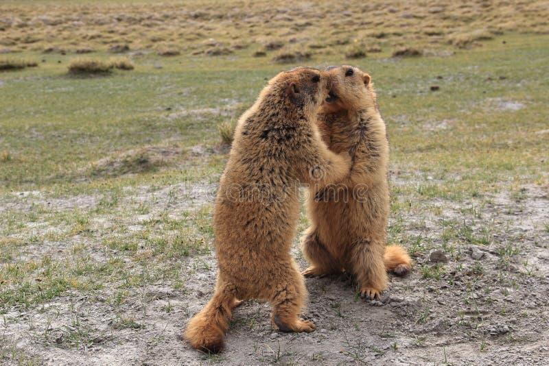 Marmot-3. stock photo