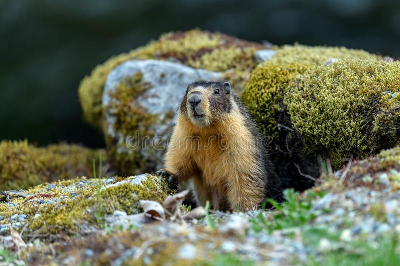 Yellow-bellied marmot Marmota flaviventris, also known as Rock Chuck, looking out of the entrance of its burrow royalty free stock photos