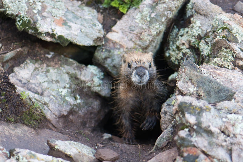 Yellow-Bellied Marmot stock image
