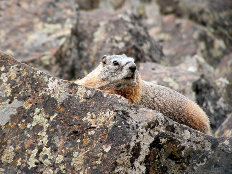 Yellow-bellied Marmot in Yellowstone royalty free stock photos