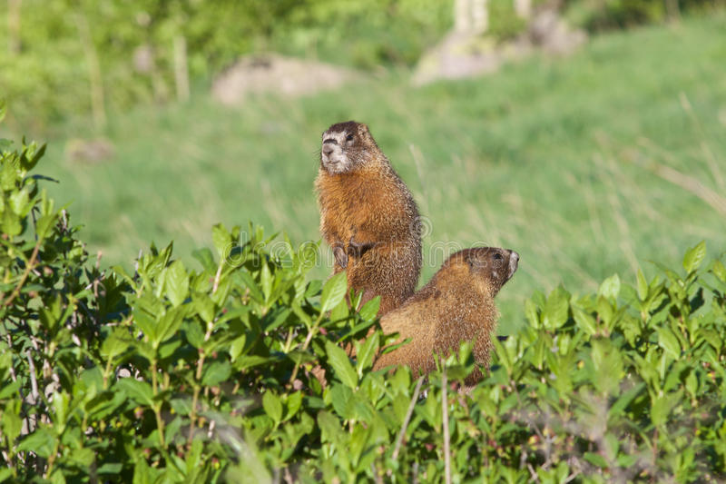 Download Yellow-bellied Marmots stock image. Image of alpine, timberline - 41565867