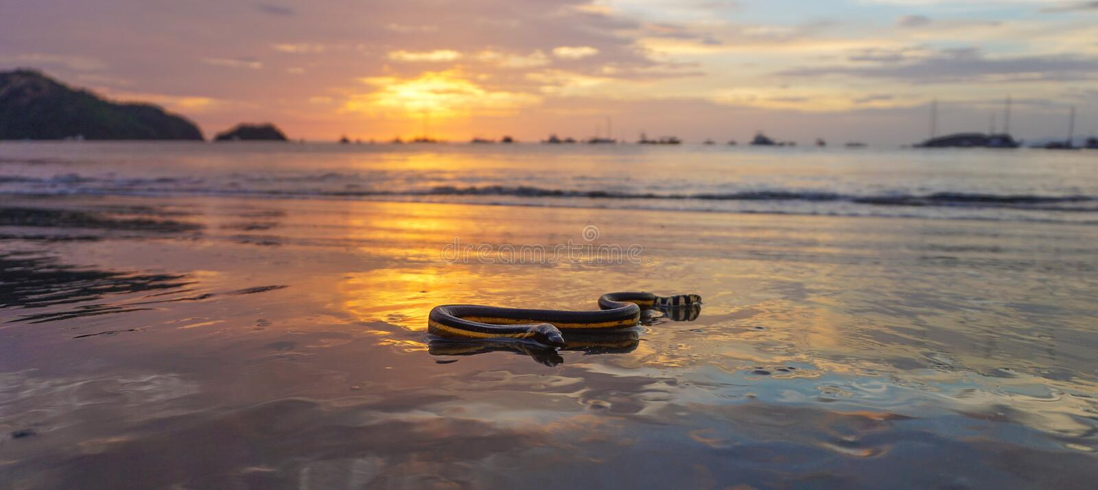 Yellow Bellied Sea Snake 2 royalty free stock photography