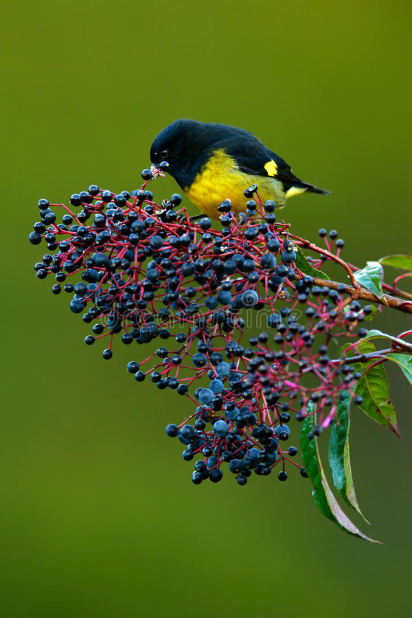 Yellow-bellied Siskin, Carduelis xanthogastra, tropic yellow and black bird eating blue and red fruits in the nature habitat, Save royalty free stock photos