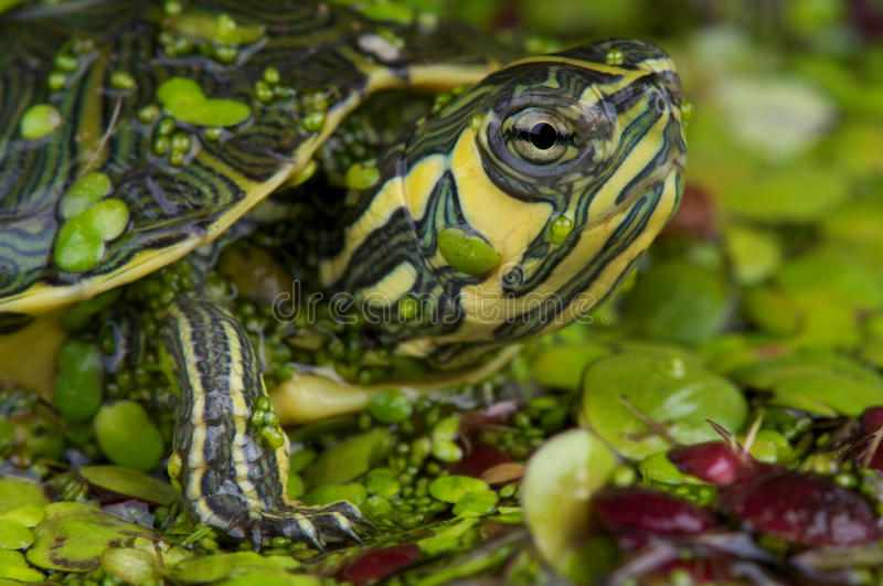 Yellow-bellied slider. The yellow-bellied slider , Trachemys scripta scripta, is a water turtle belonging to the family Emydidae. This subspecies of Trachemys royalty free stock photo