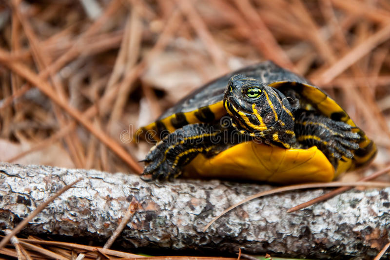 Yellow-bellied Slider. A Yellow-bellied Slider climbing over a branch in the woods royalty free stock photo