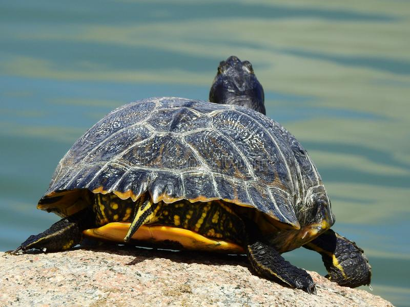 Yellow-bellied slider Turtle about to dive. Back photo of a yellow bellied slider turtle, probably buyed as a pet when it was a baby, lives now with thousand stock photo