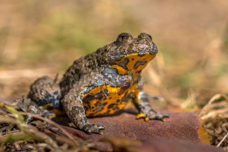 Yellow bellied toad royalty free stock images
