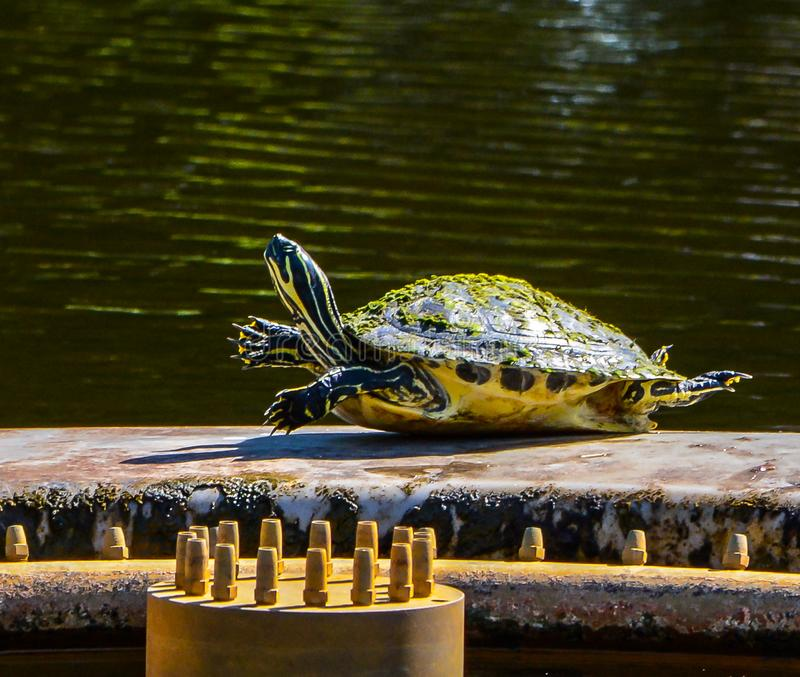 Yellow Bellied Turtle doing Exercises. A yellow bellied slider turtle with all four legs raised on the edge of a fountain in a Florida pond royalty free stock photo
