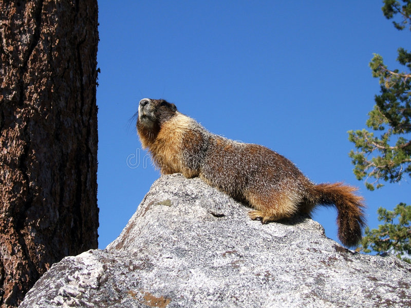 Yellow Belly Marmot stock images