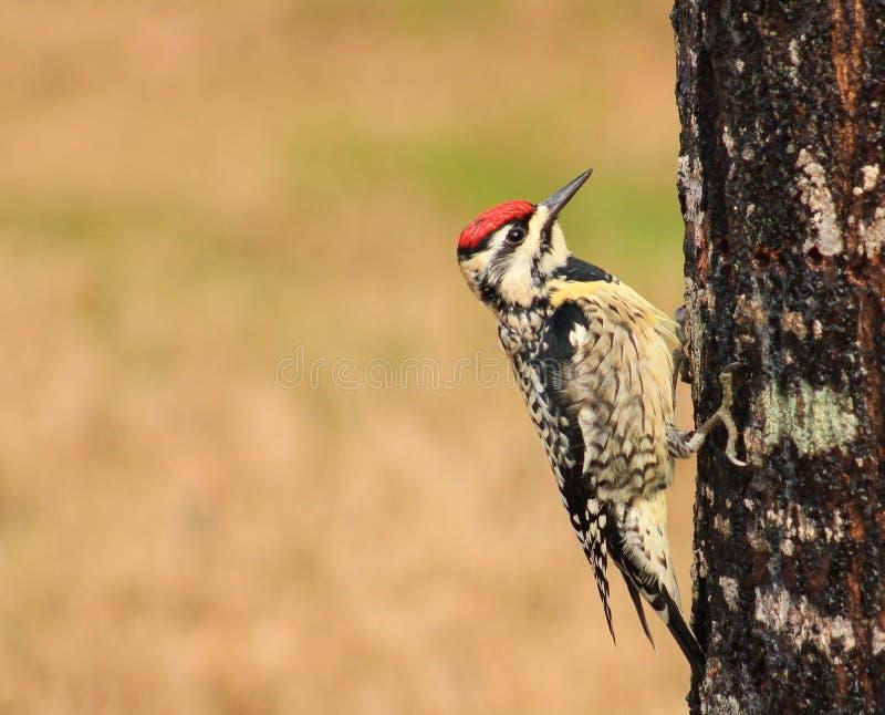 Yellow belly Sapsucker-bird. Red headed-yellow belly Sapsucker- bird on a tree with blur background stock photos