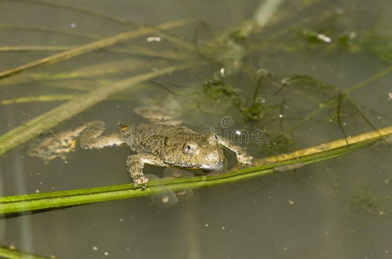 Yellow-belly Toad (Bombina variegata) royalty free stock photo