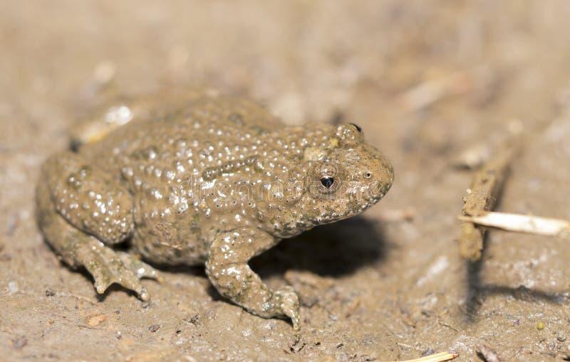 Yellow-belly Toad (Bombina variegata) royalty free stock photography