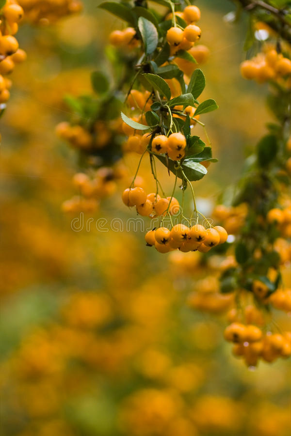 Free Yellow Berries In Fall On Firethorn Royalty Free Stock Photography - 10616937