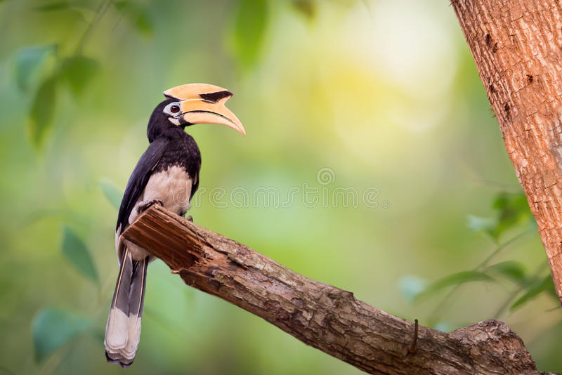 Yellow big head bird. Yellow big head bird,Oriental pied Hornbillanthracoceros albirostris perching alone stock photos