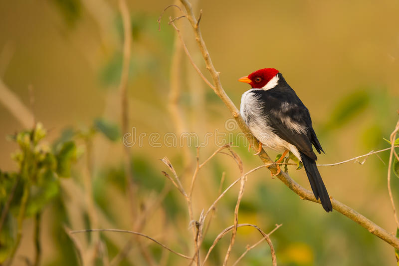 Yellow-billed Cardinal,Perched, Side-View royalty free stock image